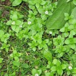 Трава мокрица, ее лечебные свойства и противопоказания
