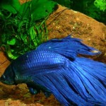 Рыбка-петушок: уход, содержание, питание