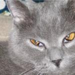 Третье веко у кошки: причины, симптомы и лечение в домашних условиях