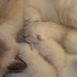 Роды у кошек