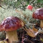 Где и когда собирать грибы в Подмосковье
