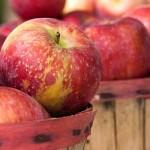 Когда и как собирать урожай яблок