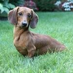 Породы собак: гладкошерстная такса