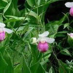 Как размножить орхидею