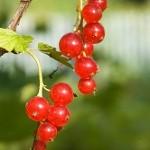 Обрезка смородины: красная и белая смородина