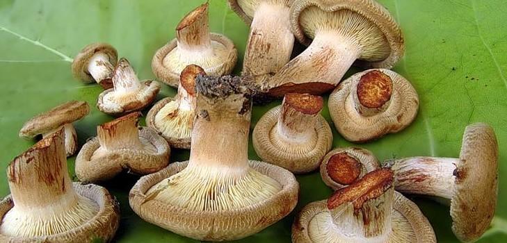 Солим грибы свинушки на зиму