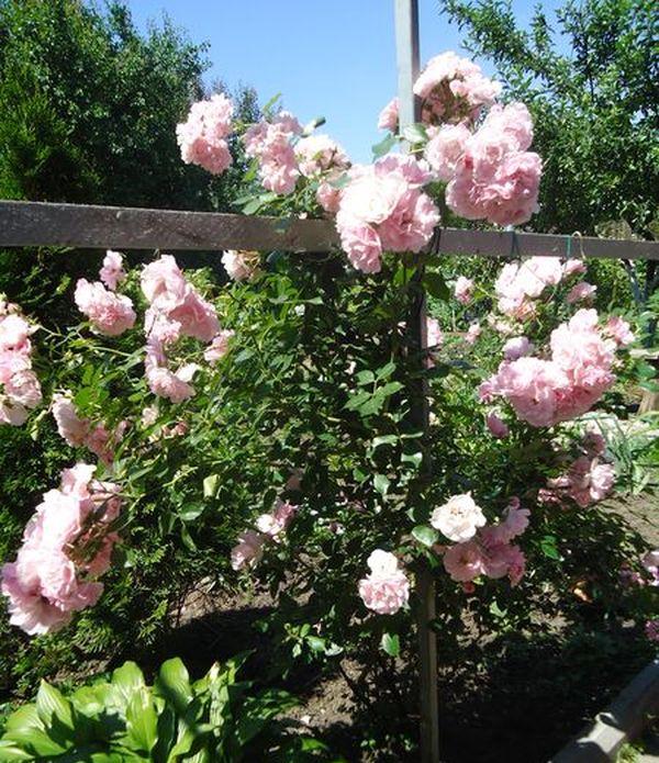 Посадка и уход за плетистой розой